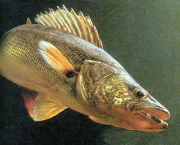 The effects late ice out could have on spawning fish.